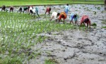 Monsoon revival boosts paddy cultivation in Udupi