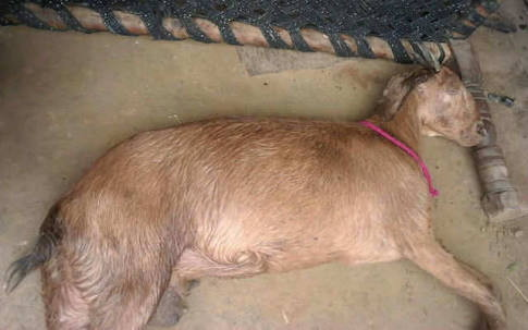Image result for Pregnant goat dies after being allegedly gangraped by 8 men